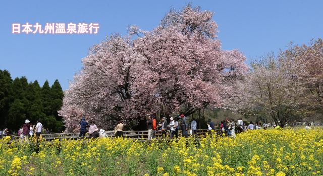 日本九州賞櫻溫泉