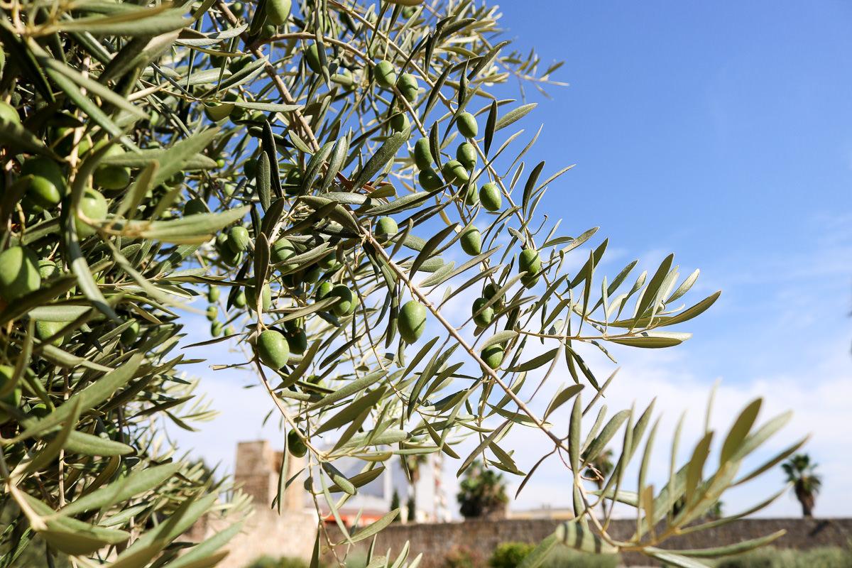 橄欖樹西班牙