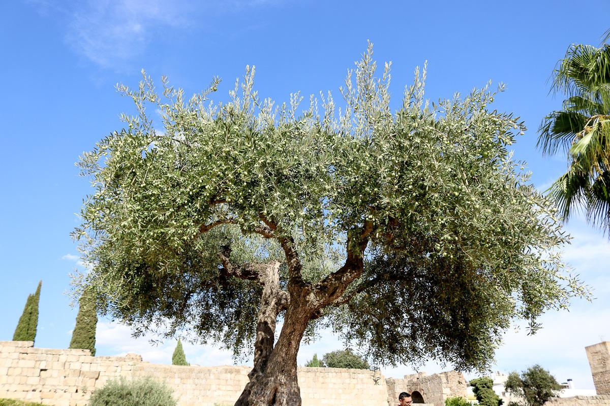 橄欖西班牙