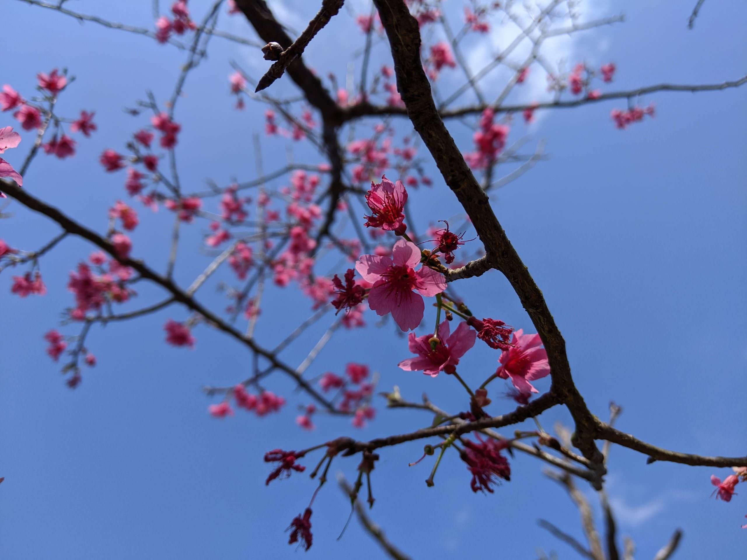 內湖東湖樂活公園櫻花
