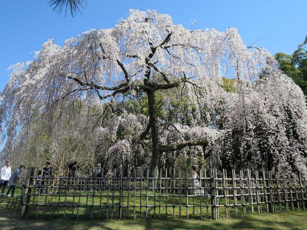 《日本》京都。京都御苑 Kyoto Gyoen National Garden 國王般的御用花園果然不同凡響
